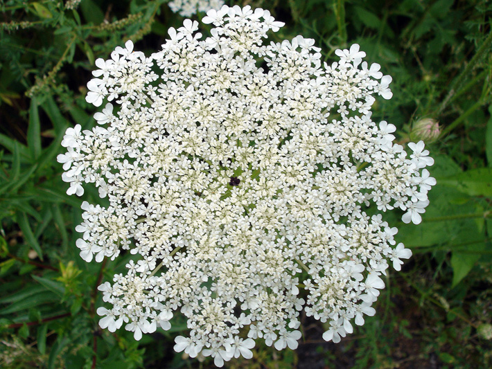 White lacy flower, about 6-8 inches in diameter, with one small purple or red spot in the middle.