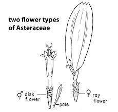 calendula florets